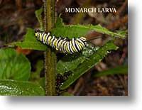 Monarch Larve