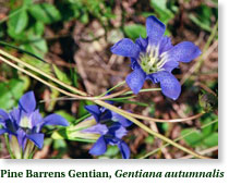 Pine Barrens Gentian