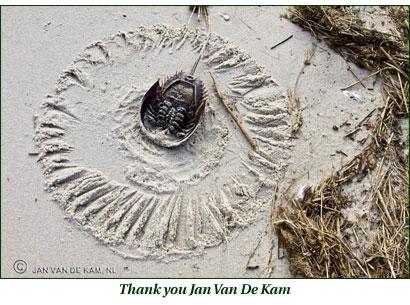 Horseshoe Crab - Jan Van De Kam