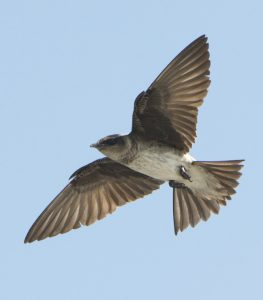 Purple Martin Flying