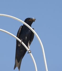 Purple Martin with Bugs