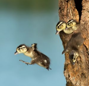 Just one day after hatching, young wood duck chicks leave the nest.
