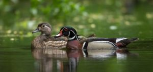 Pair of wood ducks Credit: Stan Tekiela, NatureSmart stan@naturesmart.com