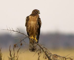 Northern harrier resting on snag