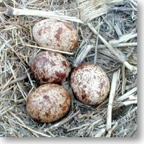 Bonanza! As of April 21 two nests have FOUR eggs