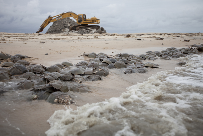 Removal of rubble at Moore's Beach to enhanced horseshoe crab habitat