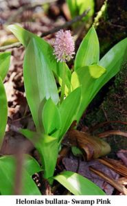 Helonias bullata - Swamp Pink