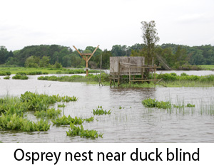 Osprey nest near duck blind