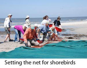 Setting the net for shorebirds