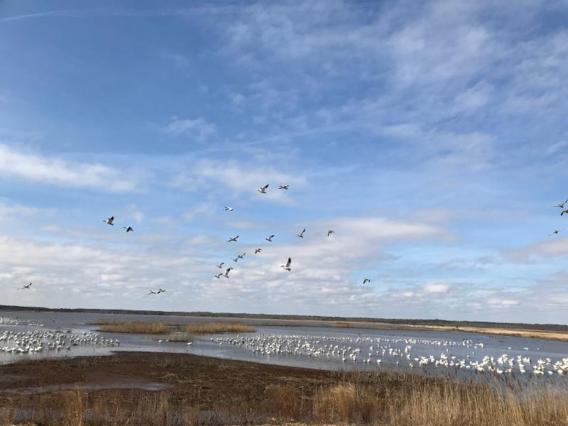 Snow geese congregate at Forsythe NWR