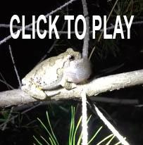 Northern Tree Frog link