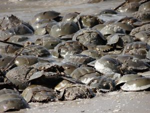 Horseshoe crabs Photo credit: Joanna Burger