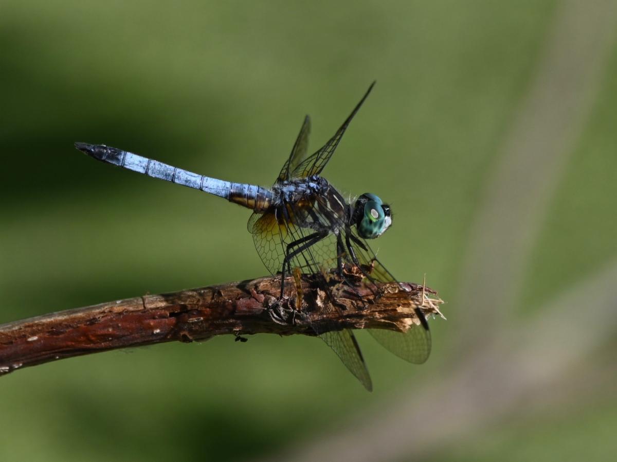West Side Park Vineland Dragonfly